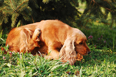 A brown dog is lying in grass and scratching at its side with a back leg