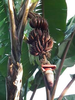 pisang merah, pisang genderuwo, pisang, tanaman pisang merah