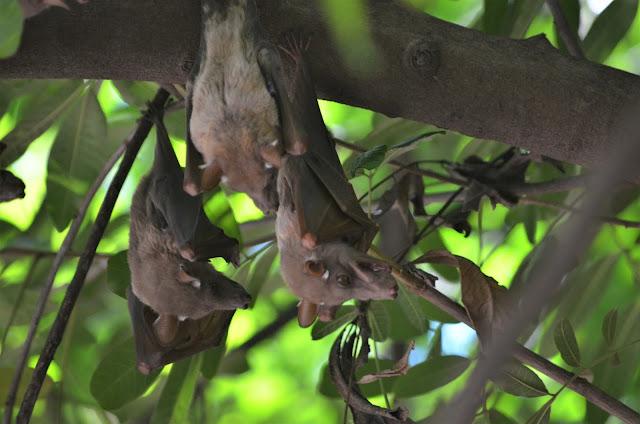 Bats at #Satara Rest Camp @SANParksKNP @SANParks #KrugerNationalPark #SouthAfrica