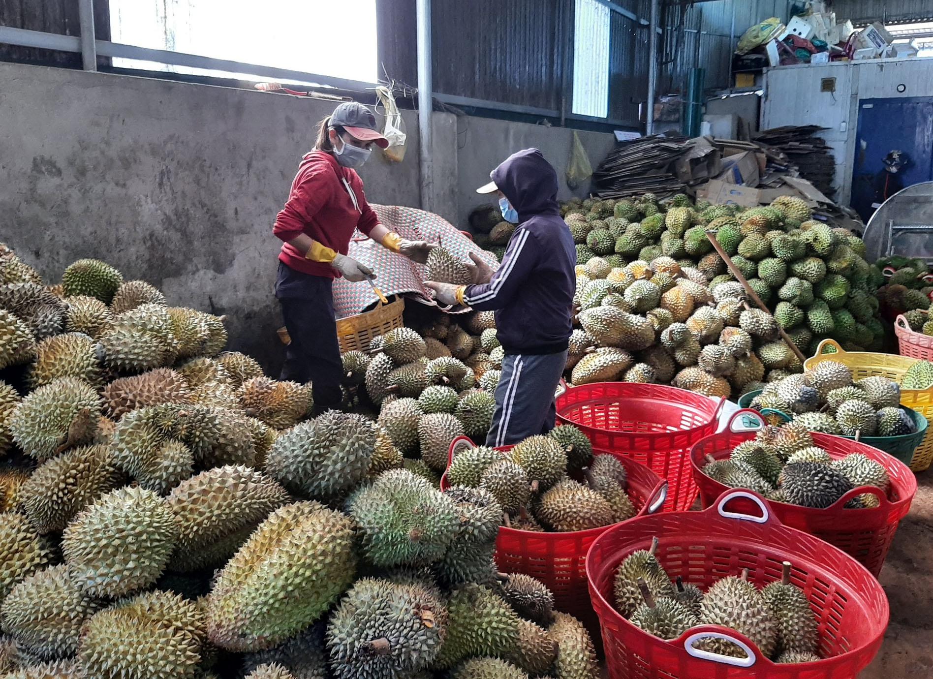 Sầu riêng ở Đắk Lắk vào vụ thu hoạch nhưng sức mua của các đại lý thấp do tiêu thụ chậm. Ảnh: Trung Chuyên