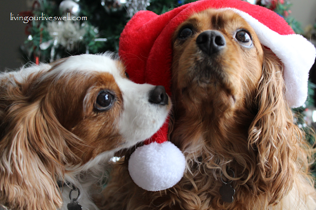Cavaliers under the mistletoe