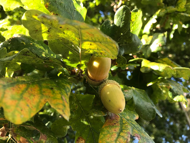 2 acorns in an Oak tree with leaves just starting to turn yellow