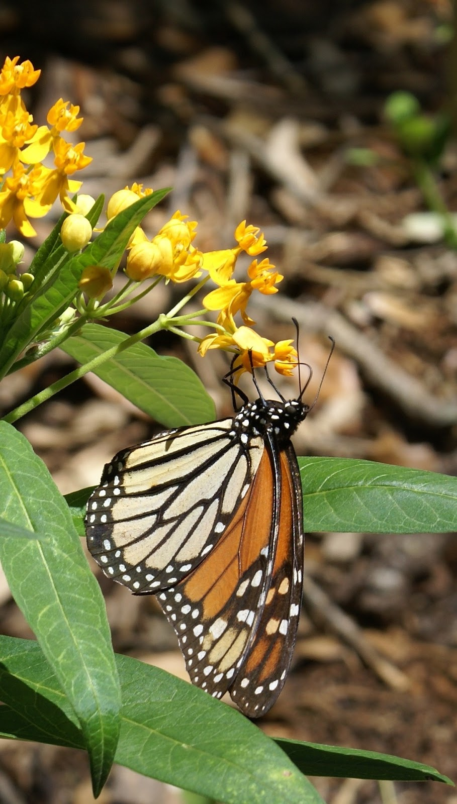 Picture of a monarch butterfly up close.