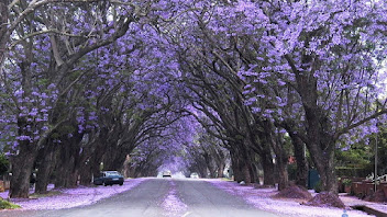 A road in Buenos Aires, Argentina covered in purple-blooming jacaranda trees.