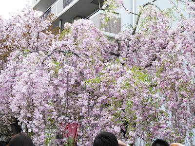 大阪造幣局 桜の通り抜け 枝垂桜