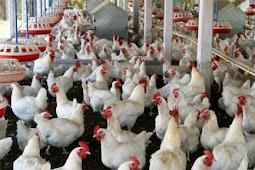 Daftar Harga Ayam Broiler Terbaru 2018