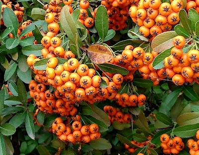 2021 pyracantha berries ripening to orange