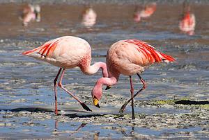 Mengapa Burung Flamingo Tidur Dengan Satu Kaki Mengapa Burung Flamingo Tidur Dengan Satu Kaki???