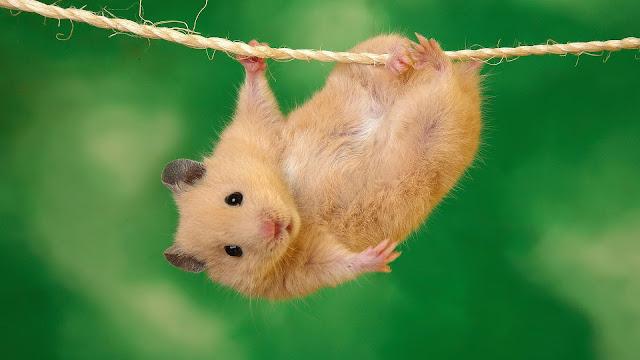 hamster evcilleştirme