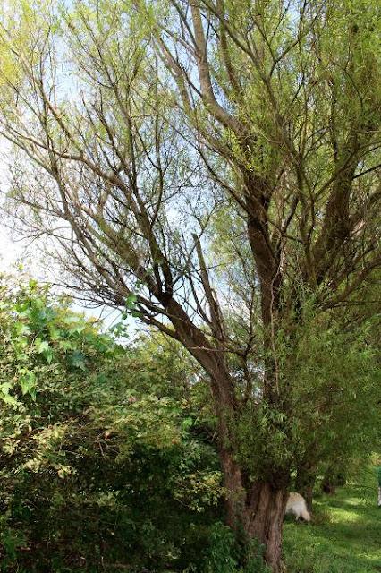 ヤナギ並木