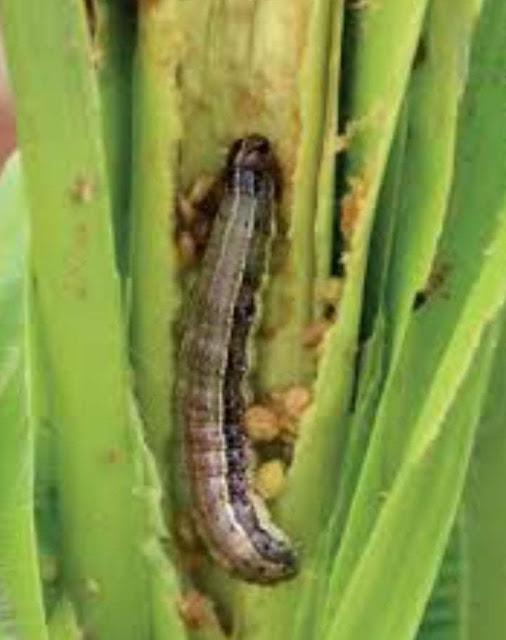 وزارة الزراعة تنفي انتشار دودة الحشد الخريفية بشكل وبائي إعرف التفاصيل
