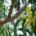 Karakteristik dan Morfologi Tanaman Pohon Akasia (Acacia mangium Willd) Pepohonan Yang Mudah Tumbuh dan Menyebar