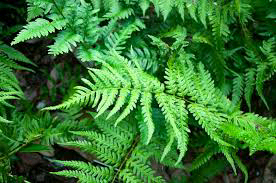 Southern Wood Fern ( Florida Shield Fern) For The Southern Garden