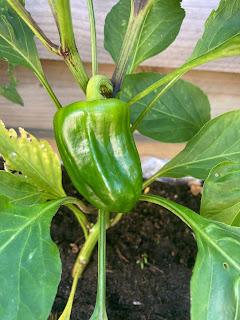 groene paprika plant groei