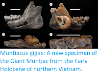 https://sciencythoughts.blogspot.com/2019/06/muntiacus-gigas-new-specimen-of-giant.html