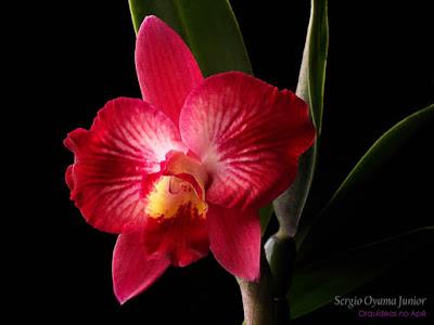 Orquídea Sophrocattleya Batemaniana
