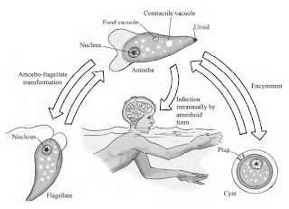 Naegleria fowleri, Acanthamoeba dan Balamuthia : Amoebae yang Hidup bebas di alam