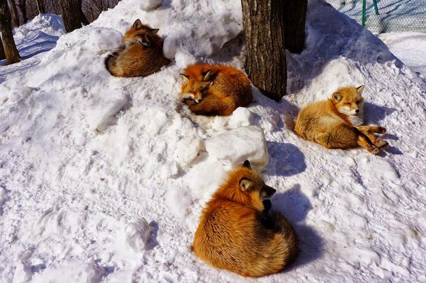 zao fox village japan adorable photos-4