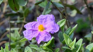 Cistus albidus (jara blanca) Plantas mediterráneas para jardines de bajo mantenimiento