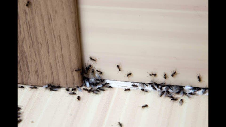كيفية التخلص من مستعمرات النمل التي تغزو منزلك بأمان