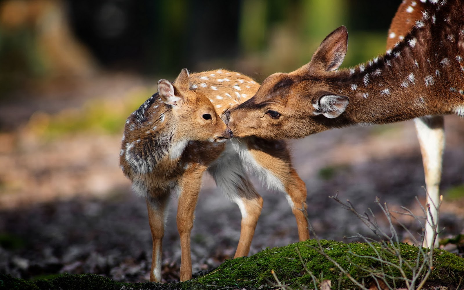 Deer Nature Animals Fawns Baby Animals Wallpapers Hd: Beautiful Wallpapers: Deer Wallpaper