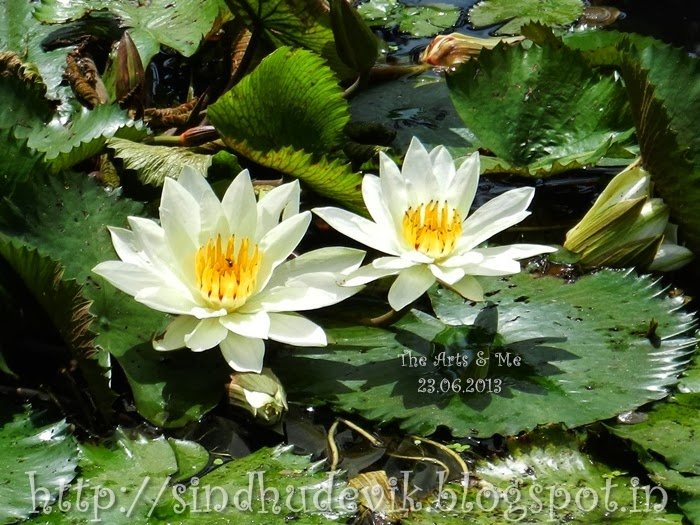 White Waterlily flowers captured at Sarasbaug, Pune, Maharashtra, India..