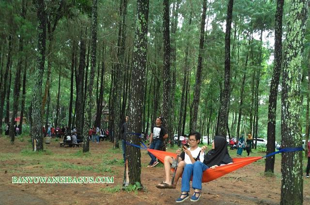 Hutan Pinus Songgon, lokasi selfi terbaru di Banyuwangi.
