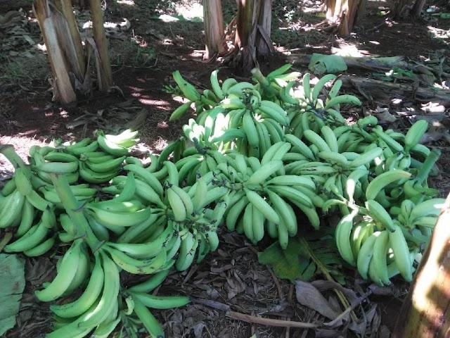 Acorizal deve aumentar em 75% produção de Banana da Terra