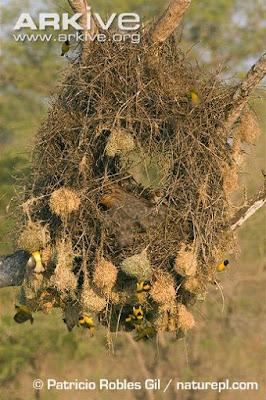 weaver nest in the nest goose