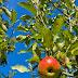 Apple and Plum Picking Season [Through My Lens Nr. 255]
