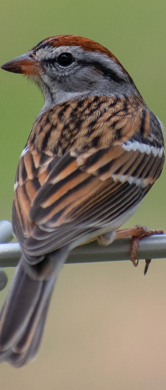 A sparrow on a metal rod.
