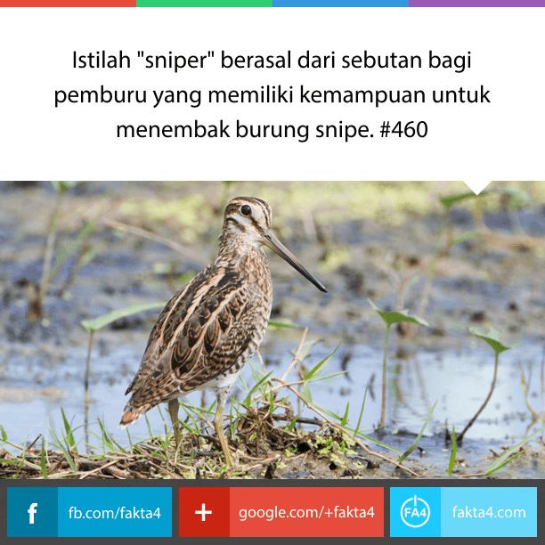 burung snipe