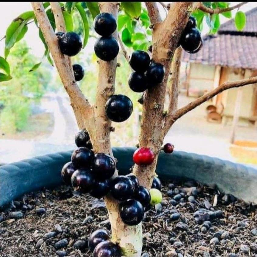 Bibit tanaman anggur pohon Jakarta