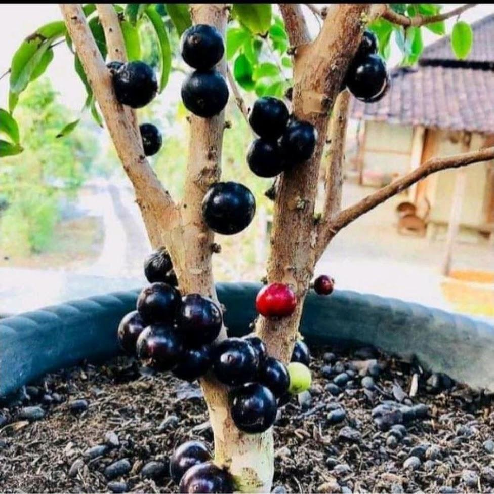 Bibit tanaman anggur pohon Serang