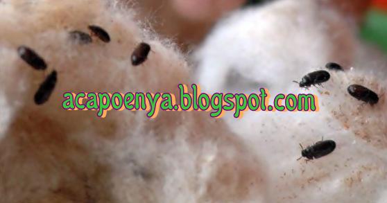 Bahaya dan Khasiat Semut Jepang