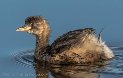 Little Grebe - Diep River, Woodbridge Island Cape Town - Copyright Vernon Chalmers Photography