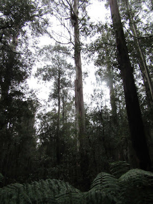 Tall trees, Mount Field, Tasmania