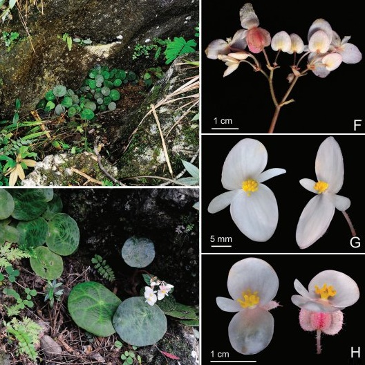 Species New To Science Botany 2017 Begonia Ufoides Sect