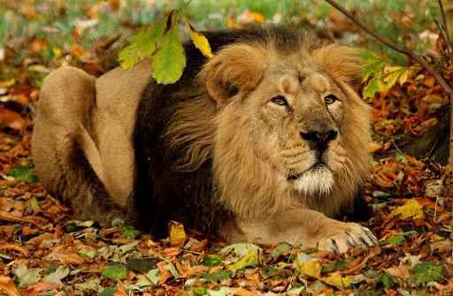 H F Cattle India PediaPie: Asian Lions ...