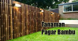 Tanaman Pagar Bambu
