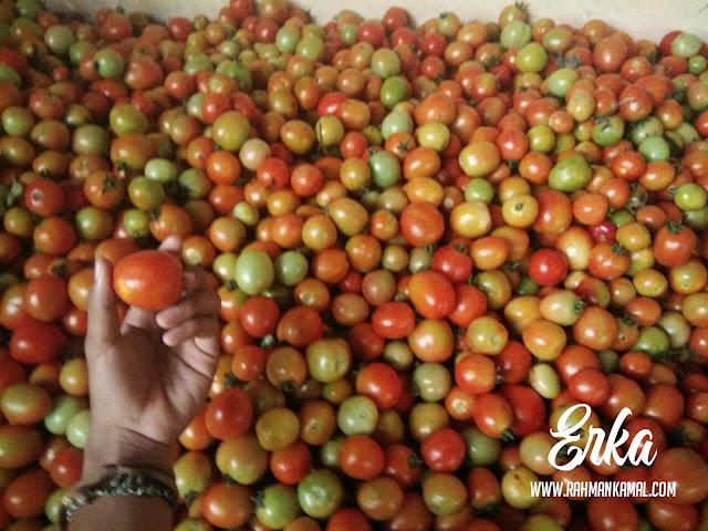 Kiat Sukses berkebun tomat