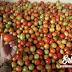 Kiat Sukses Mendapat Penghasilan Dengan Berkebun Tomat