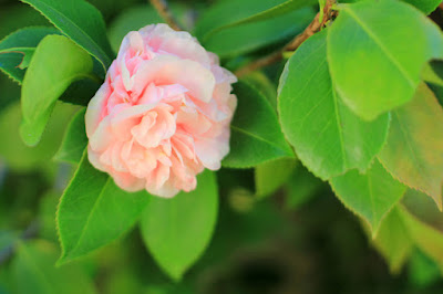 Pink Camellias - Flower Photography by Mademoiselle Mermaid