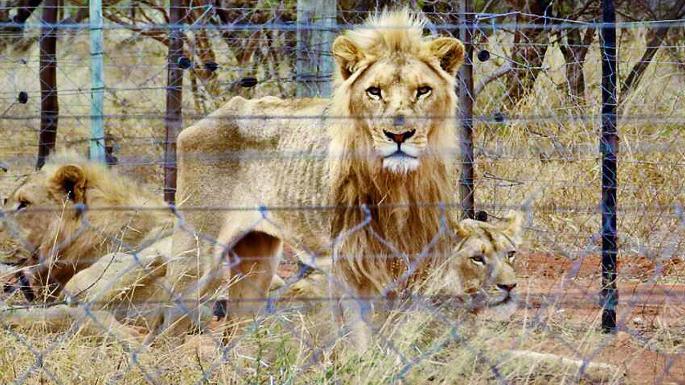 Três leões escanzelados