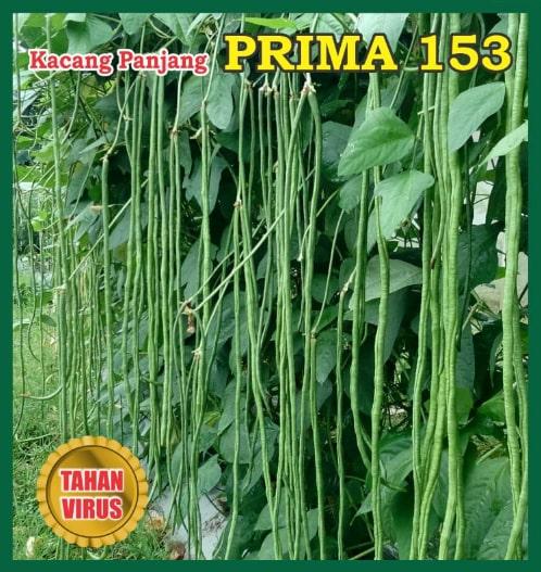 Benih Prima, benih unggul, benih kacang, benih kacang murah berkualitas, benih kacang panjang, benih prima, benih prima mandiri, pancaprima mandiri, benih kacang unggul,