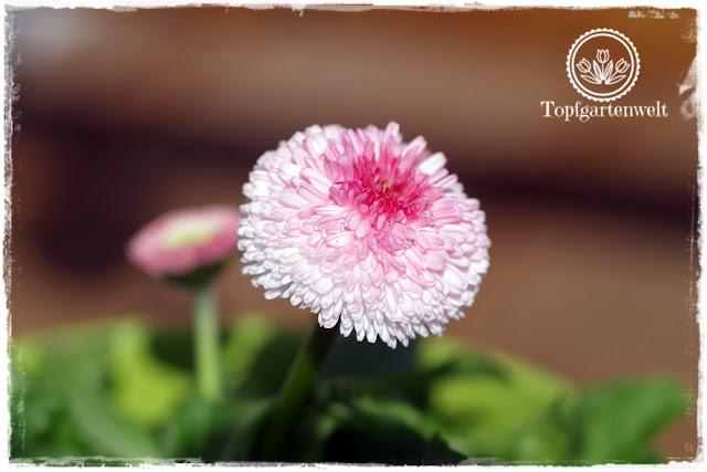 Gartenblog Topfgartenwelt Pinterest: Garten Gartenblogger Gruppenpinnwand, Bellis