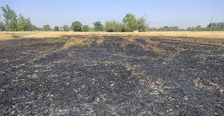 शार्ट सर्किट से गेहूं की फसल जलकर राख | #NayaSaberaNetwork