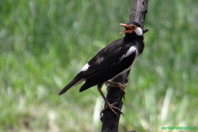 Cara Budidaya Burung Jalak Suren