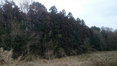 谷津の杉と花粉
