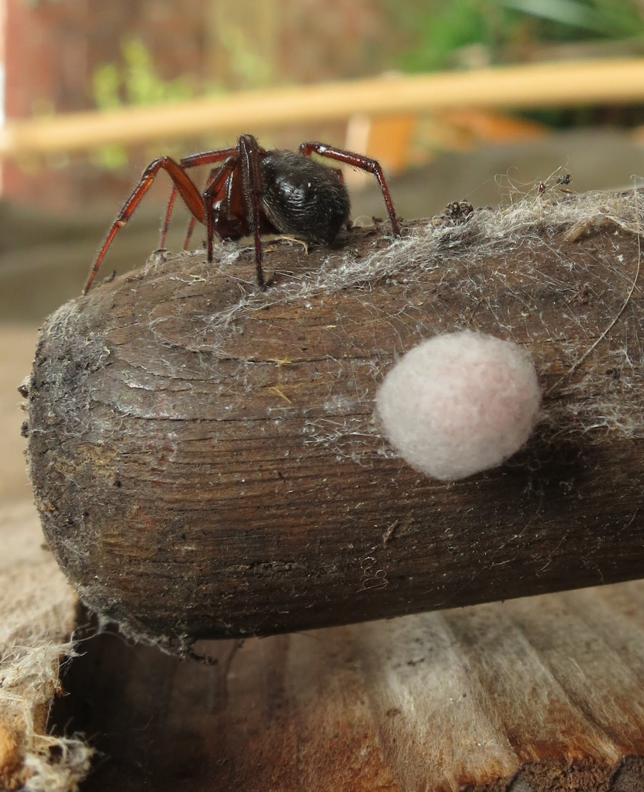 Spider with face away from camera on a broom handle where it has its ball of eggs